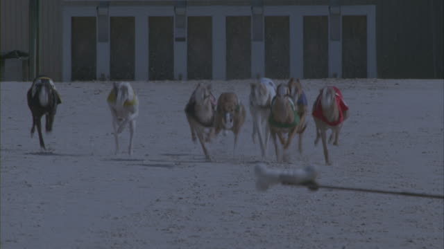 Greyhound dogs running on a racetrack.