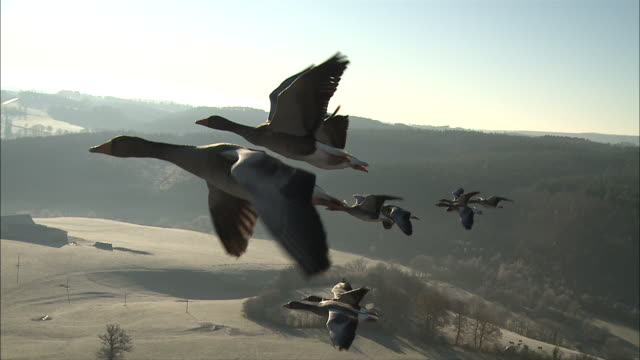 greylag geese fly in formation. - formation flying stock videos & royalty-free footage