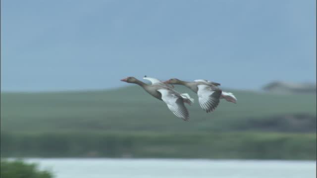 greylag geese land on lake next to tufted duck, bayanbulak grasslands - 鳥 カモ点の映像素材/bロール