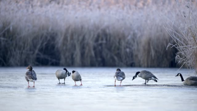 greylag goose, anser anser, and canada goose, branta canadensis, on frozen lake in winter - グレイグース点の映像素材/bロール