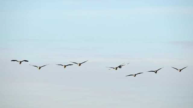 greylag goose, anser anser, in flight - goose stock videos & royalty-free footage