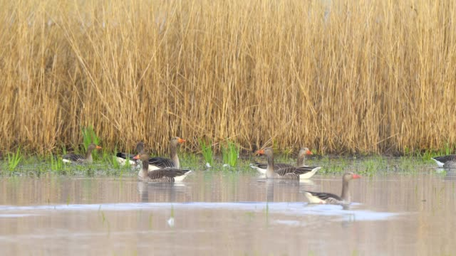 greylag goose, anser anser, in spring - 雁点の映像素材/bロール