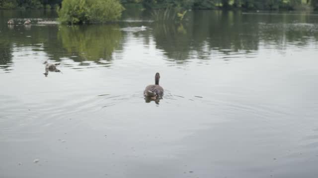 vídeos de stock, filmes e b-roll de ganso cinza na água durante o verão - parte do corpo animal