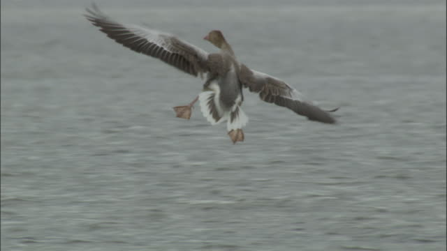 Greylag goose lands on grassy islet in lake, Bayanbulak grasslands.