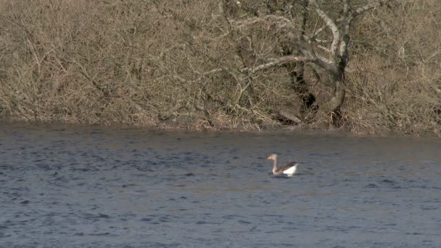 Greylag goose swimming on a river