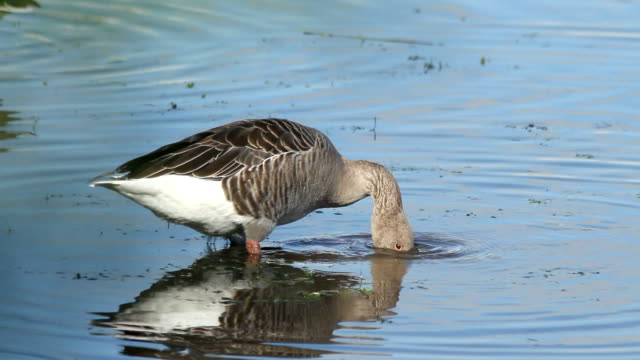 greylag goose  (anser-anser) - goose meat stock videos and b-roll footage