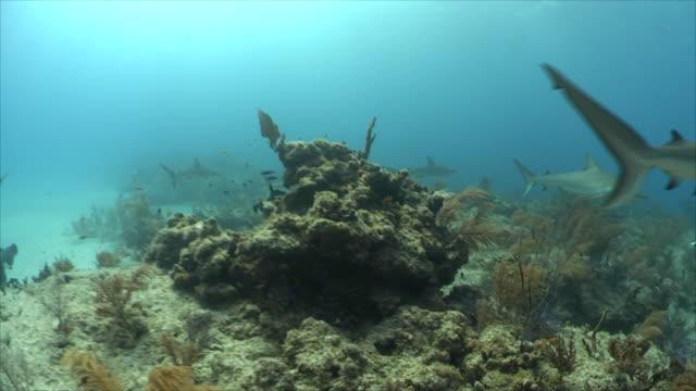 greyreefshark - grey reef shark stock videos & royalty-free footage