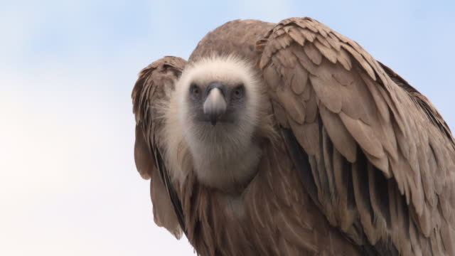griffon vulture cu 1 - vulture stock videos & royalty-free footage