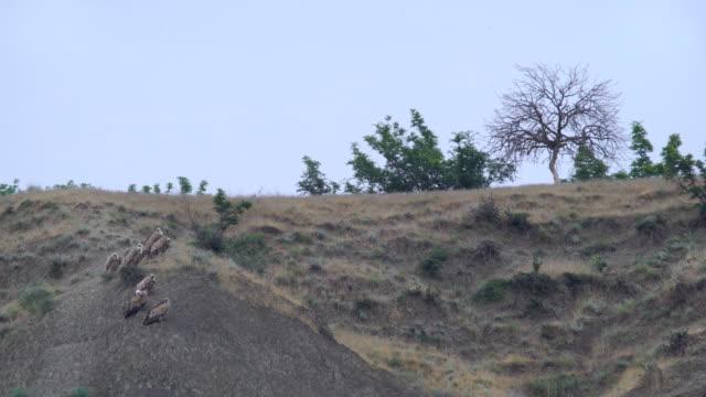 vidéos et rushes de vautour fauve (gyps fulvus) et l'urubu noir (aegypius monachus) - vautour moine
