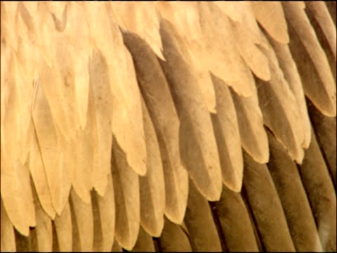 griffon vulture (gyps fulvus) feather detail, autumn, sierra morena, andalusia, southern spain - lunghezza video stock e b–roll