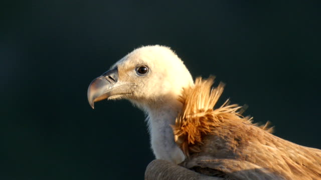 griffon vulture, Gyps fulvus, standing and watching. Extreme close-up on head