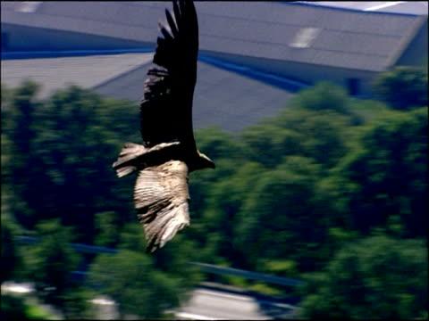 griffon vulture (gyps fulvus) migratory flight near tarifa, autumn, tarifa, andalusia, southern spain - gespreizte flügel stock-videos und b-roll-filmmaterial