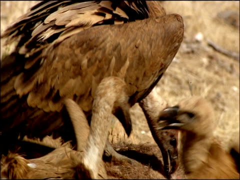 vidéos et rushes de griffon vulture (gyps fulvus) pecking at carcass, autumn, sierra morena, andalusia, southern spain - cou d'animal
