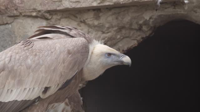 griffon vulture (gyps fulvus) - vulture stock videos & royalty-free footage