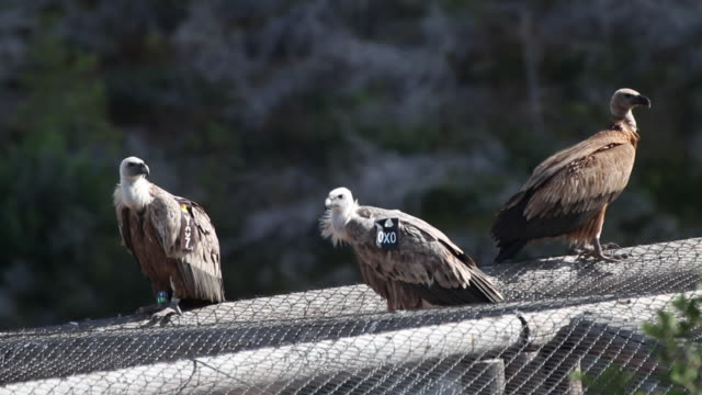 griffon vulture (gyps fulvus) - wildlife tracking tag stock videos and b-roll footage