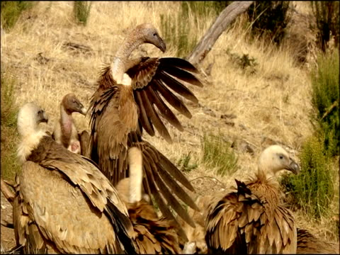 Griffon Vulture (Gyps fulvus) with wings outstretched, mantling dominantly over carcass, Autumn, Sierra Morena, Andalusia, Southern Spain