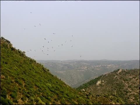 vídeos y material grabado en eventos de stock de griffon vultures (gyps fulvus) circling over wooded area, autumn, sierra morena, andalusia, southern spain - hurgar en la basura