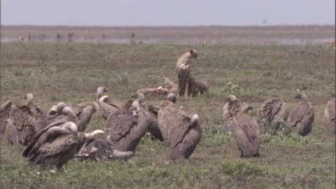 griffon vultures cluster round cheetah family feeding on carcass. available in hd. - scavenging stock videos & royalty-free footage