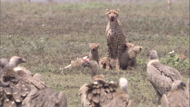stockvideo's en b-roll-footage met griffon vultures cluster round cheetah family feeding on carcass. available in hd. - dood dier