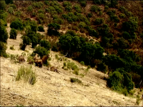 vidéos et rushes de griffon vultures (gyps fulvus) come down and feed on deer carcass,  autumn, sierra morena, andalusia, southern spain - groupe moyen d'objets