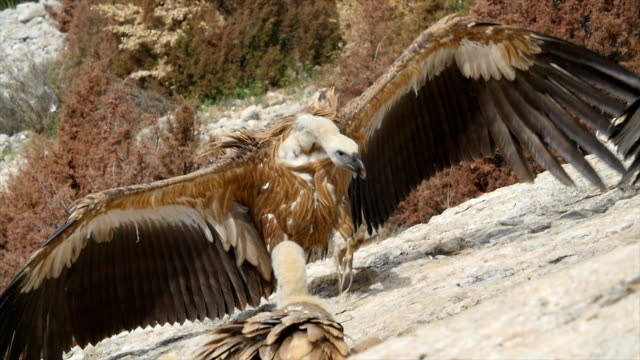 Griffon Vultures gathering in feeding station Pyrenees. 4K UHD