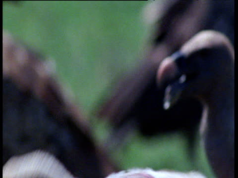 griffon vultures lunge at carcass on savanna - lunge stock videos & royalty-free footage