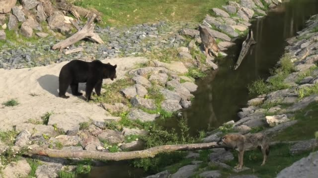 grizzlies have fun chasing each other while the wolves closely follow throw the large habitat at the amazing pairi daiza in the belgium zoo. the... - other stock videos & royalty-free footage