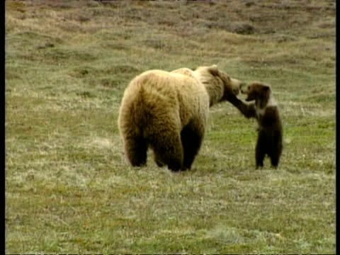 ms grizzly bear and cub playing, arctic circle - bear cub stock videos and b-roll footage