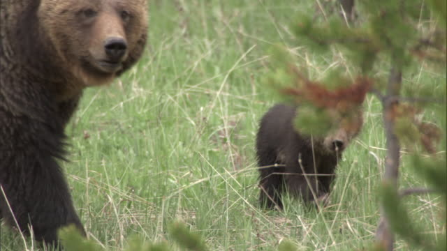 vidéos et rushes de grizzly bear (ursus arctos) and cub, yellowstone, usa - parc national de yellowstone