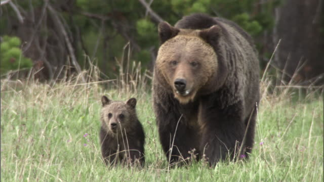Grizzly bear (Ursus arctos) and cub, Yellowstone, USA