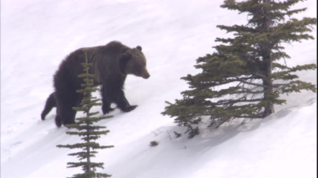 grizzly bear and cubs, banff, canada available in hd - bear cub stock videos and b-roll footage