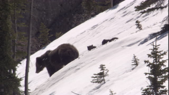 Grizzly bear and cubs on snowy slope, Banff, Canada Available in HD