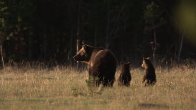 Grizzly bear (Ursus arctos) and cubs, Yellowstone, USA