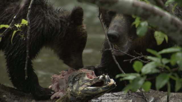 a grizzly bear and her cub feed on a salmon carcass. - grizzlybär stock-videos und b-roll-filmmaterial