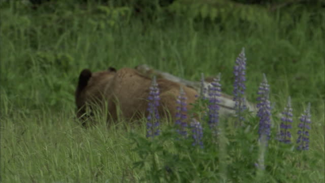 a grizzly bear and her cub gallop across a meadow of grasses and lupine flowers. - bear cub stock videos and b-roll footage