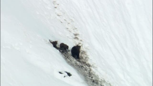 stockvideo's en b-roll-footage met a grizzly bear and her cubs emerge from den and stand on a snowy slope. - dierenhol