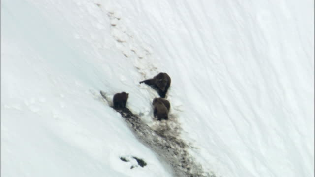 stockvideo's en b-roll-footage met a grizzly bear and her cubs sit on a snowy hillside. - dierenhol