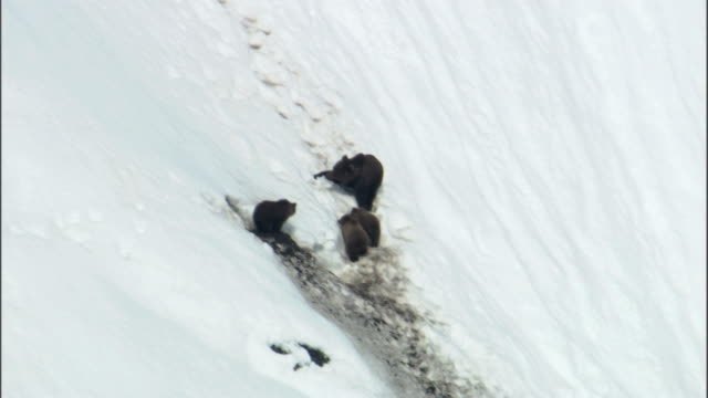a grizzly bear and her cubs sit on a snowy slope. - burrow stock videos & royalty-free footage
