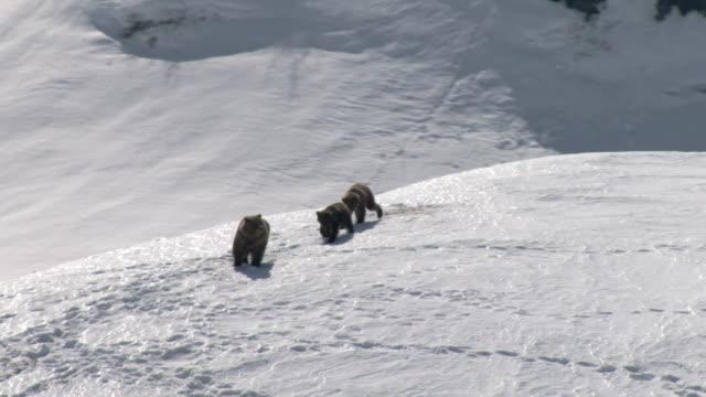 a grizzly bear and her cubs trek across a high, snowy mountaintop. - bärenjunges stock-videos und b-roll-filmmaterial