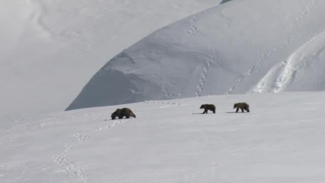a grizzly bear and her cubs trek across a snowy mountain plateau. - grizzlybär stock-videos und b-roll-filmmaterial