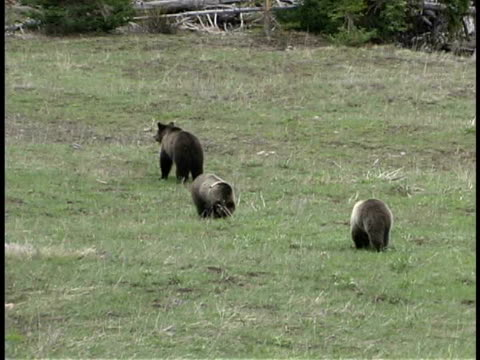 ms, ha, grizzly bear and two cubs on meadow, yellowstone national park, wyoming, usa - small group of animals stock videos & royalty-free footage