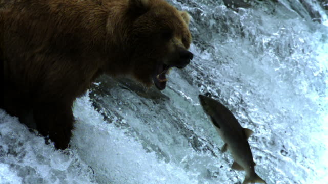 Grizzly bear attempts to catch salmon as it leaps up waterfall.