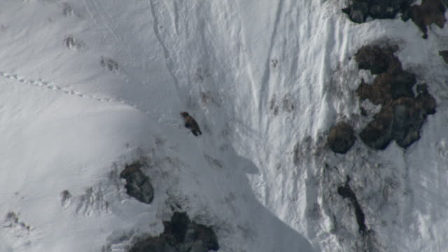 a grizzly bear attempts to descend a steep, rocky, snowy slope. - 崖点の映像素材/bロール