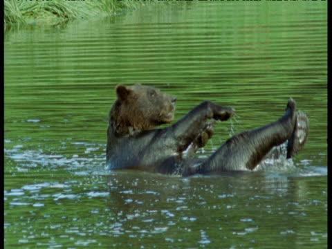 grizzly bear bathes in river, alaska - auf dem rücken liegen stock-videos und b-roll-filmmaterial