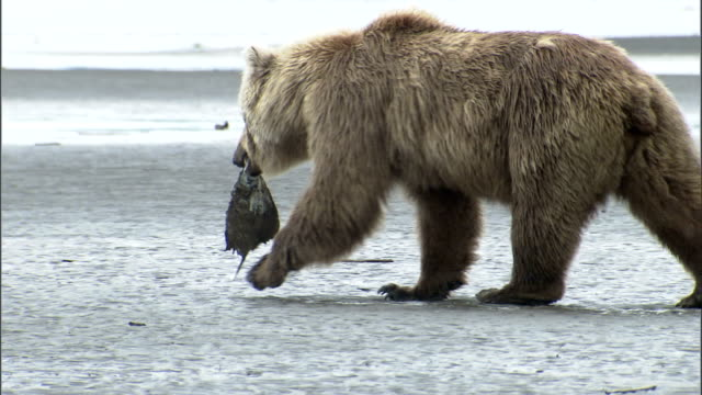 a grizzly bear carries a flat fish carcass in its mouth as it walks across a muddy estuary. - flat fish stock videos and b-roll footage