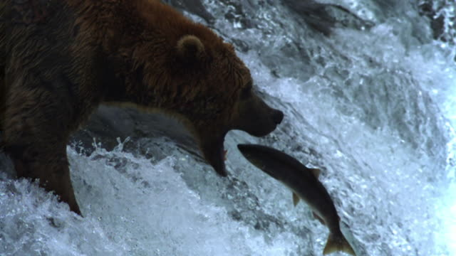 Grizzly bear catches salmon as it leaps up waterfall.