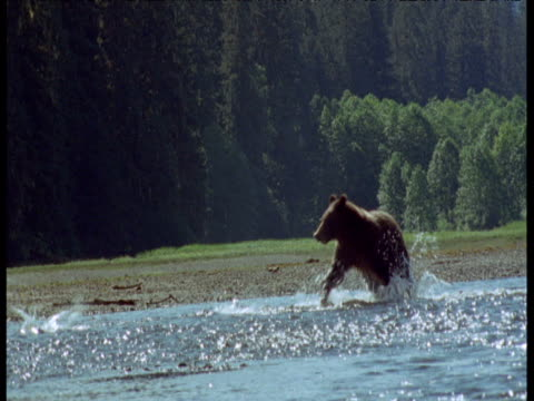 grizzly bear chases two salmon in shallows and misses them, alaska - 逃げる点の映像素材/bロール