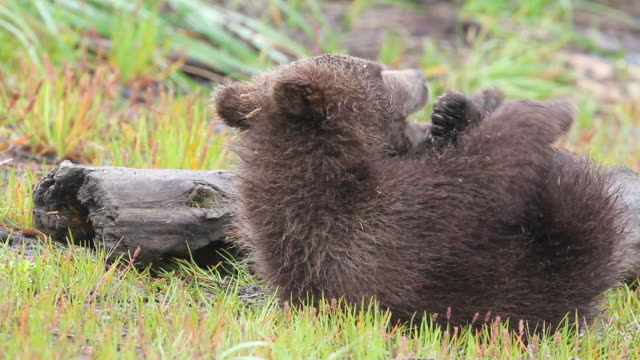 a grizzly bear cub bites at its toes. - bear cub stock videos and b-roll footage