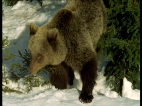 grizzly bear cub falls into deep paw print of mother in snow - paw print stock videos & royalty-free footage