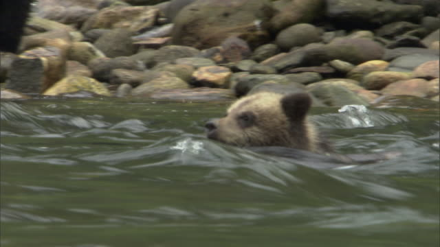 a grizzly bear cub paddles against the current but gets washed downstream. - struggle stock videos & royalty-free footage